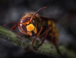 Wespen bestrijden